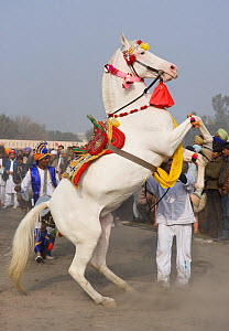Domestic horse, a man makes his Nukra mare dance during the Maghi Mela festival, Muktsar, Punjab, India. January 2010  -  Kristel Richard
