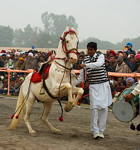 A Sikh man makes his Nukra horse dance to the rhythm of a drum during the Maghi Mela festival, Muktsar, Punjab, India. January 2010  -  Kristel Richard