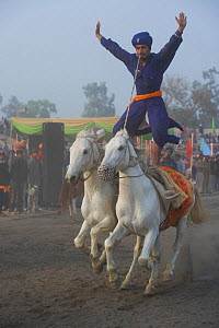 A traditionally dressed Nihang (an armed Sikh soldier) standing on the backs of two galloping Nukra horses during the Maghi Mela festival, Mukstar, Punjab, India, January 2010  -  Kristel Richard