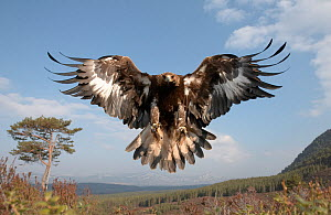 Golden eagle (Aquila chrysaetos) sub-adult female in flight, Cairngorms National Park, Scotland, UK, captive - Peter Cairns
