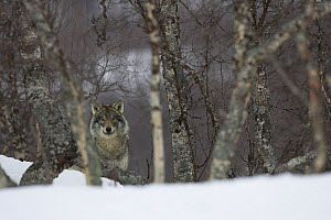 European grey wolf (Canis lupis) in snow-laden boreal birch forest, Nord-Trondelag, Norway, captive - Peter Cairns