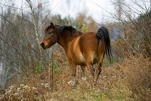 Domestic horse, a rare native bay Kiso gelding standing in a forest, Kiso County, Nagano Prefecture, Japan. 2009  -  Kristel Richard
