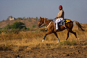 An Indian man rides a rare and traditionally dressed Kathiawari mare in revaal (a lateral gait), in Gadhada, Gujarat, India. 2010 - Kristel Richard