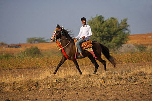 A young Indian man rides a rare and traditionally dressed Kathiawari mare in revaal (a lateral gait), in Gadhada, Gujarat, India. 2010 - Kristel Richard