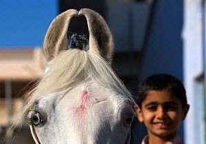 Close up of the curved ears of a rare Cremello Kathiawari mare with young Indian boy riding her, in Jasdan, Gujarat, India. The pink points on her head are tradionally put by women during ceremonies,... - Kristel Richard