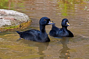 Common / Black Scoters (Melanitta nigra nigra) two males on water, Iceland, Northern Europe, April  -  Rod Williams