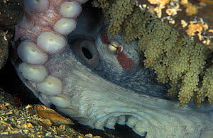 Pacific Giant Octopus (Enteroctopus dofleini) guarding eggs. British Columiba, Canada, Pacific Ocean.  -  Brandon Cole