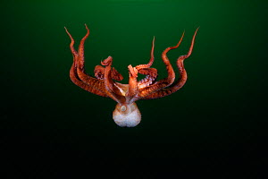 Pacific Giant Octopus (Enteroctopus dofleini). British Columbia, Canada, Pacific Ocean.  -  Brandon Cole