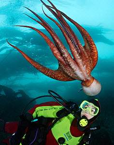 Pacific Giant Octopus (Enteroctopus dofleini) interacts with scuba diver (Model Released). British Columbia, Canada, Pacific Ocean. September 2006  -  Brandon Cole