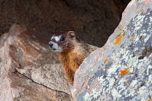 Yellow-bellied marmot (Marmota flaviventris) portrait, looking out from between rocks, Wyoming, USA, North America  -  Shattil & Rozinski