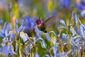 Broad-tailed hummingbird (Selasphorus platycercus) hovering over Rocky Mountain Irises (Iris missouriensis) flowering in pasture, Wyoming, USA, North America - Shattil & Rozinski