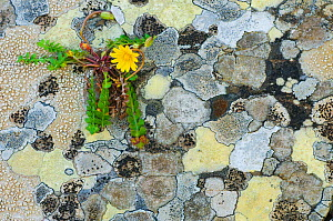 Map lichen (Rhizocarpon geographicum) on rock and (Hyoseris radiata) flower, Menorca, Balearic Islands, Spain, Europe  -  Edwin Giesbers