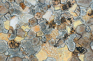 Map lichen (Rhizocarpon geographicum) on rock, Menorca, Balearic Islands, Spain, Europe  -  Edwin Giesbers