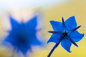 Borage (Borago officinalis) flowers, Menorca, Balearic Islands, Spain, Europe - Edwin Giesbers