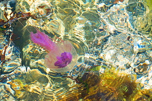 Purple-striped jellyfish (Pelagia noctiluca) in shallow water, Menorca, Balearic Islands, Spain, Europe - Edwin Giesbers