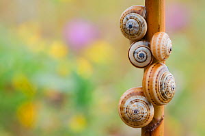Brown-lipped / Grove / Banded snails (Cepaea nemoralis) on plant stem, Menorca, Balearic Islands, Spain, Europe - Edwin Giesbers