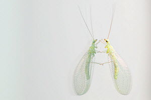 Green lacewing (Chrysopa septempunctata) with reflection on glass, Menorca, Balearic Islands, Spain, Europe  -  Edwin Giesbers