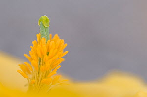 Yellow horned poppy (Glaucium flavum) close up of pistil and stamens, Menorca, Balearic Islands, Spain - Edwin Giesbers