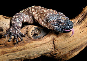 Mexican beaded lizard (Heloderma horridum) captive, from Central America Venomous species  -  Michael  D. Kern