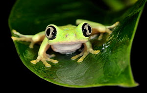 Lemur leaf frog (Hylomantis lemur) captive, Critically endangered, from Central America  -  Michael D. Kern / Zoo Atlanta