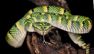 Temple pit viper (Tropidolaemus subannulatus) captive, showing forked tongue, from se Asia - Michael D. Kern