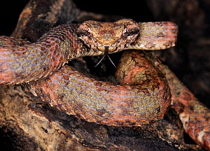 Eyelash palm viper (Bothriechis / Bothrops schlegelii) captive, from Central and South America  -  Michael D. Kern