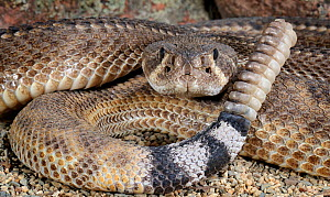 Striped western diamondback rattlesnake (Crotalus atrox) captive, from USA  -  Michael  D. Kern