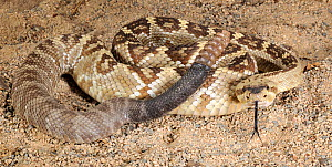 Black tailed rattlesnake (Crotalus molossus) captive, from SW USA and Mexico - Michael D. Kern
