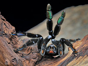 Venezuelan suntiger / Devil tree spider (Psalmopoeus irminia) female, captive, from South America  -  Michael D. Kern
