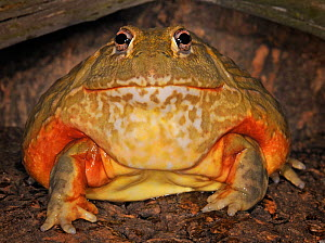 Giant pixie frog / African bullfrog (Pyxicephalus adspersus) captive, from Africa  -  Michael D. Kern