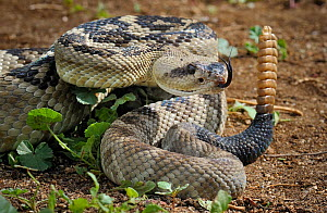 Black-tailed rattlesnake (Crotalus molossus) coiled with tongue exposed and ready to strike, rattling tail, captive, from USA - Michael D. Kern