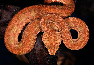Eyelash viper (Bothriechis / Bothrops schlegelii) captive, from Central and South America  -  Michael D. Kern