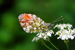 Orange Tip butterfly (Anthocharis cardamines) male at rest on flowering Cow Parsley (Anthriscus sylvestris) Morden, South London, England, UK - Russell Cooper