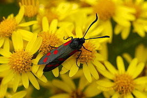 Six Spot Burnet Moth (Zygaena filipendulae) at rest on flowering Ragwort, South London, England, UK.  -  Russell Cooper