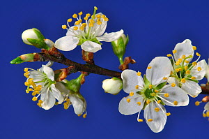 Close up of Blackthorn (Prunus spinosa) blossom, Spring, Dorset, UK  -  Colin Varndell