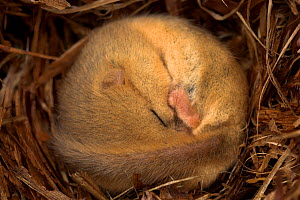 Hazel Dormouse (Muscardinus avellanarius) hibernating, Dorset, UK - Colin Varndell