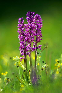 Early purple orchid (Orchis mascula) Hardington Moor, Somerset, UK  -  Colin Varndell