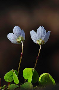 Wood-sorrel flowers (Oxalis acetosella) Kingcombe Meadows, Dorset, UK - Colin Varndell