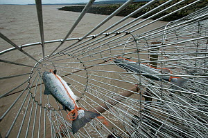 Atlantic salmon (Salmo salar) caught by traditional fisherman at 'putcher station' on Severn estuary. This traditional way of fishing is potentially threatened by the proposed tidal barrage. Glouceste... - David Woodfall
