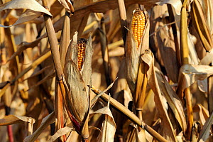 Ripe Maize cobs (Zea mays) ready for harvest, near Diepholz, Lower Saxony , Germany, October.  -  Nick Upton