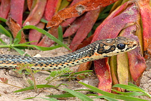 Karoo whip snake (Psammophis notostictus) adult male, deHoop NR, Western Cape, South Africa  -  Tony Phelps
