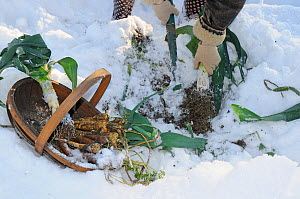 Snow covered allotment with gardener digging up winter root vegetables, Parsnips, Leeks and carrots, Norfolk, UK, December - Gary K. Smith