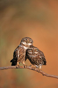 Little owl (Athene noctua) pair perched, courtship behaviour, Spain  -  Dietmar Nill