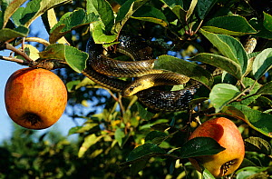 Aesculapian snake (Elaphe longissima) coiled in branch of apple tree, with fruit hanging below, Poitou France, Europe. Controlled conditions. - Daniel Heuclin