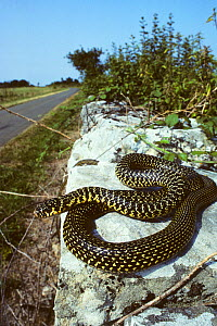Western whipsnake (Hierophis /Coluber viridiflavus) on wall by the side of a road. France, Europe. Controlled conditions. - Daniel Heuclin