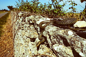 Western whipsnake (Hierophis /Coluber viridiflavus) travelling down a wall by the side of a road. France, Europe. Controlled conditions. - Daniel Heuclin