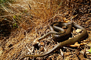 Western whipsnake (Hierophis / Coluber viridiflavus)  on ground, in long grass. France, Europe. Controlled conditions. - Daniel Heuclin