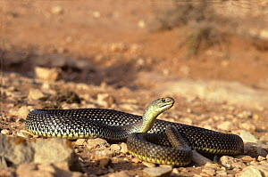 Montpellier snake (Malpolon monspessulanus) exposed in desert landscape, with head raised. Morocco. Controlled conditions.  -  Daniel Heuclin
