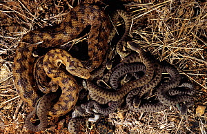 Asp viper (Vipera aspis) female with nest of hatched young. France, Europe. Controlled conditions.  -  Daniel Heuclin