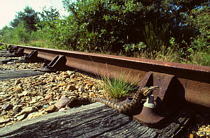 Asp viper (Vipera aspis) moving over the sleepers of a railway track. France, Europe. Controlled conditions.  -  Daniel Heuclin